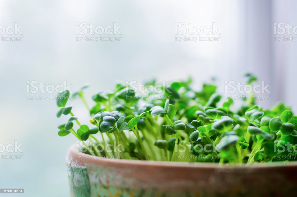 Growing microgreens in pot on white background, selective focus stock photo