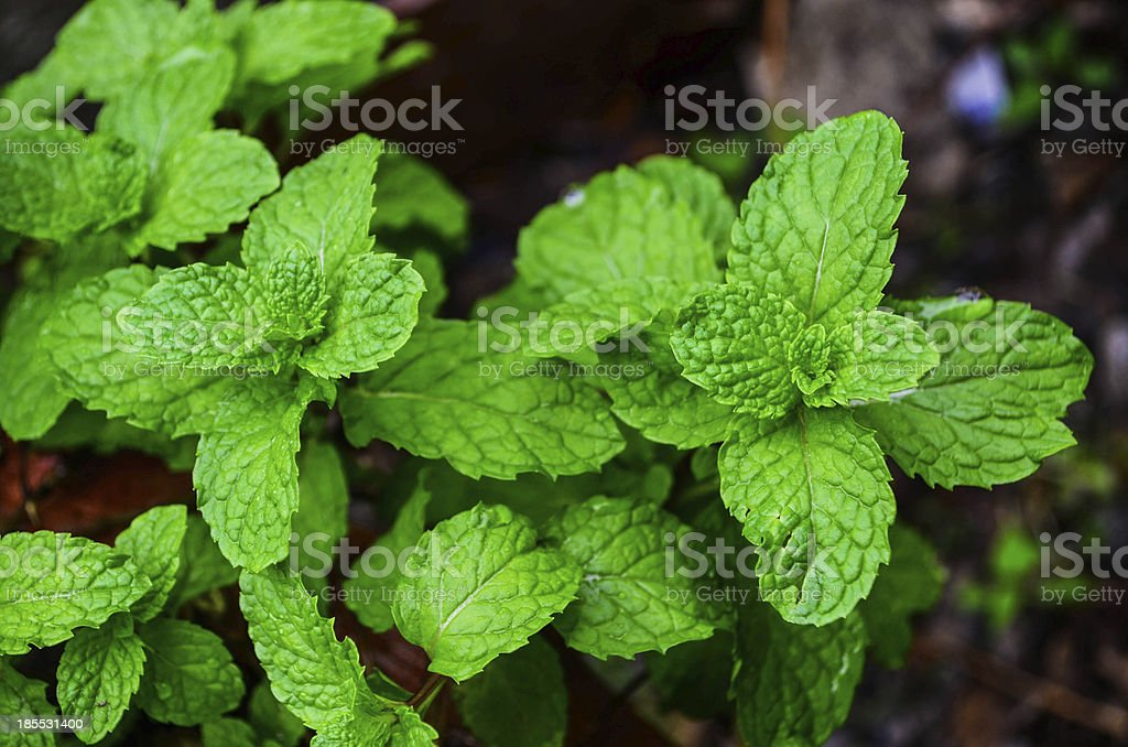 Growing mint leaves royalty-free stock photo