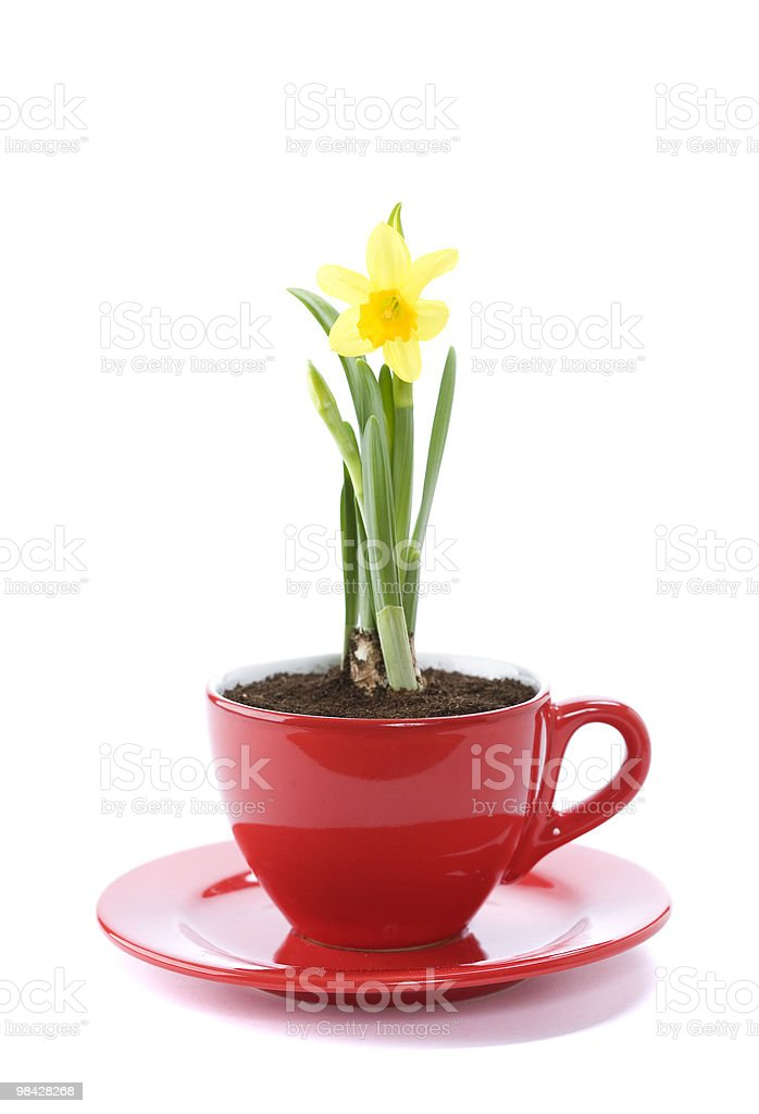 growing narcissus  in a cup royalty-free stock photo