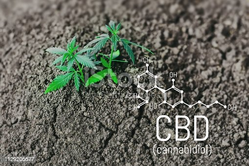 istock Growing natural marijuana with small seedlings from soil for the production of cannabis essential oil in medicinal preparations. CBD oil cannabidiol formula 1129205577
