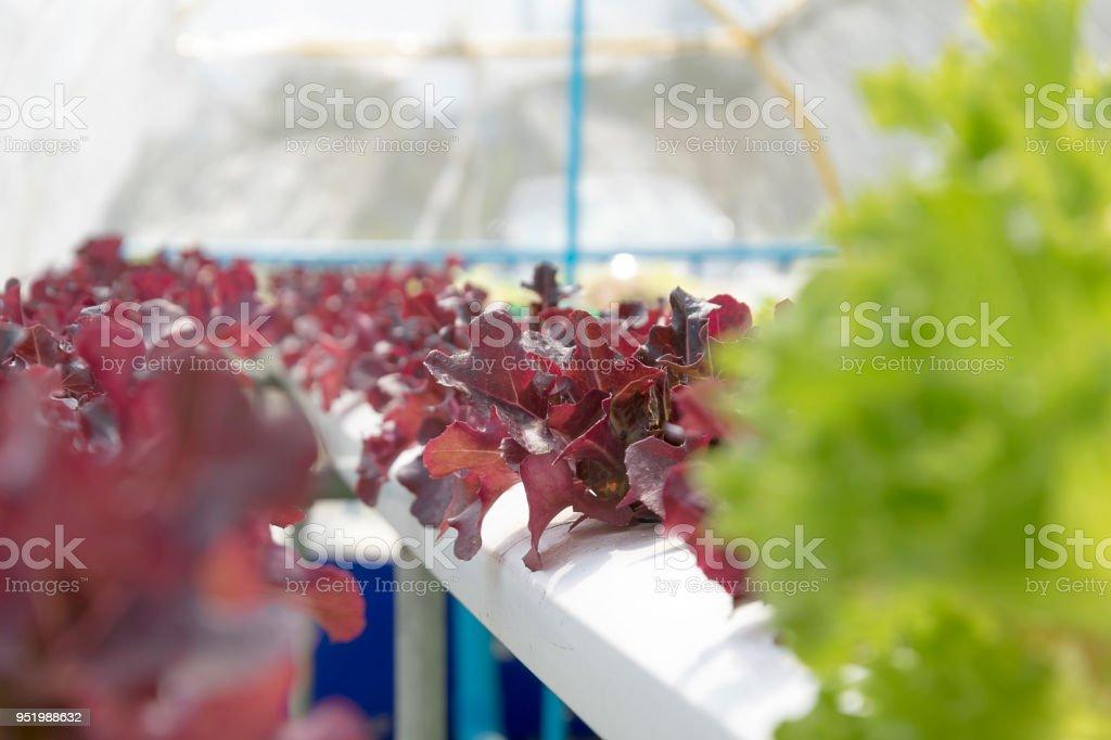 growing non-toxic vegetables. stock photo