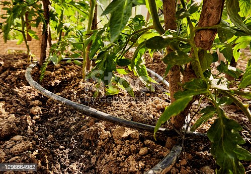 Growing organic tomatoes in the garden