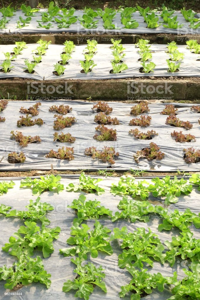 Growing organic vegetable farms - Royalty-free Agriculture Stock Photo