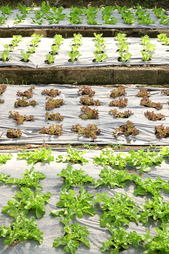 Growing Organic Vegetable Farms Stock Photo - Download Image Now