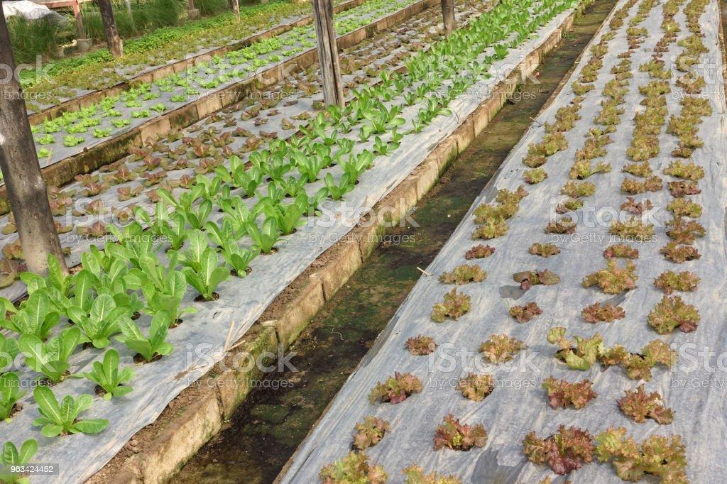 Växande ekologiska grönsaksodlingar - Royaltyfri Fotografi - Bild Bildbanksbilder