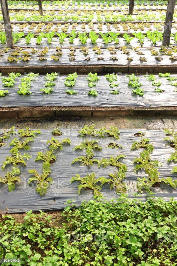 De plus en plus fermes de légumes biologiques - Photo de Agriculture libre de droits
