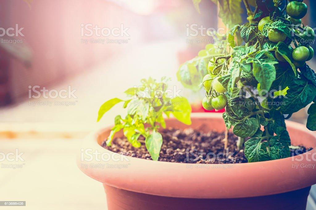 Growing organic vegetables on the balcony stock photo