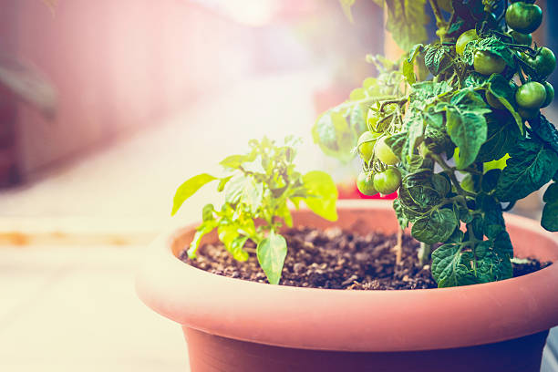 Growing organic vegetables on the balcony stock photo