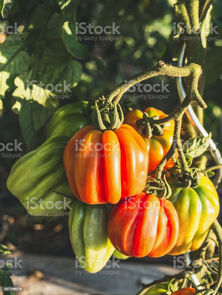 Growing Ox Heart Growing Tomatoes Branch in Garden, close up photo libre de droits