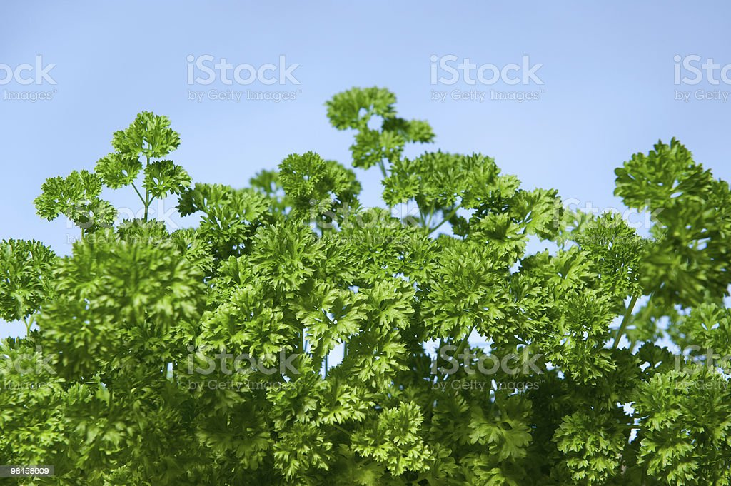 growing parley royalty-free stock photo