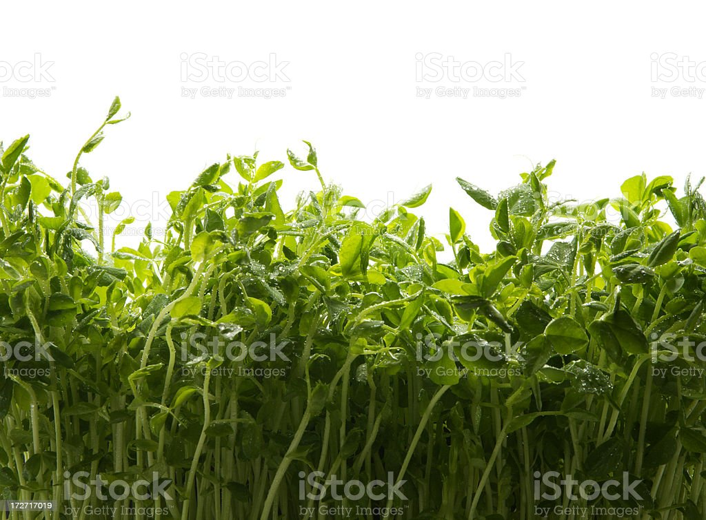 Growing Pea Sprouts stock photo