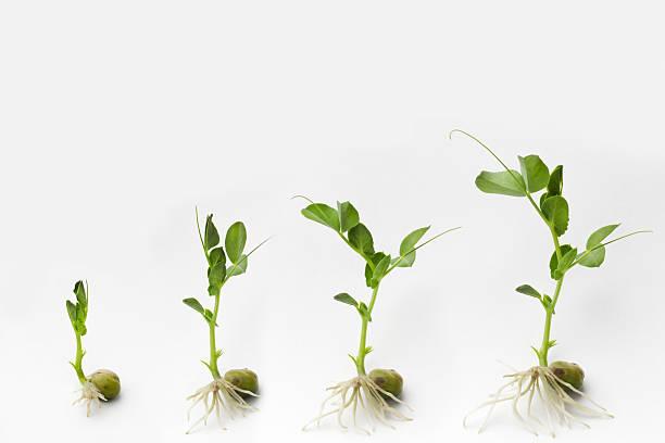 growing - pea sprouts bildbanksfoton och bilder