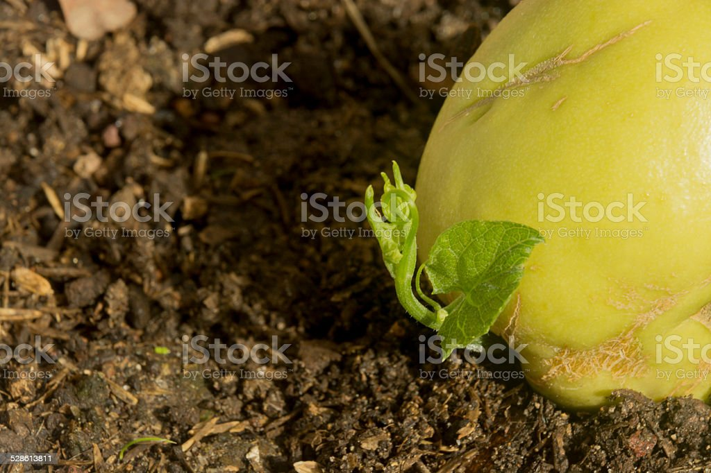 Growing Plant Chayote stock photo