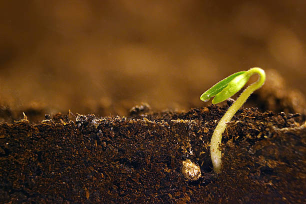 growing plant. green sprout growing from seed. - seed stock photos and pictures