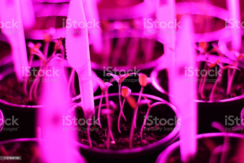 Growing plant seedlings and artificial lighting. Lamp for plant...