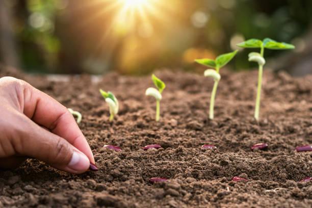 wachsende pflanze mit sonnenaufgang schritt. konzept-landwirtschaft im garten - wachstumstabelle baby stock-fotos und bilder