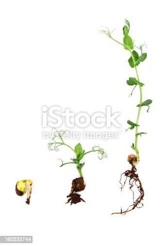 147512291 istock photo growing plant with root on white background:pea 160333744