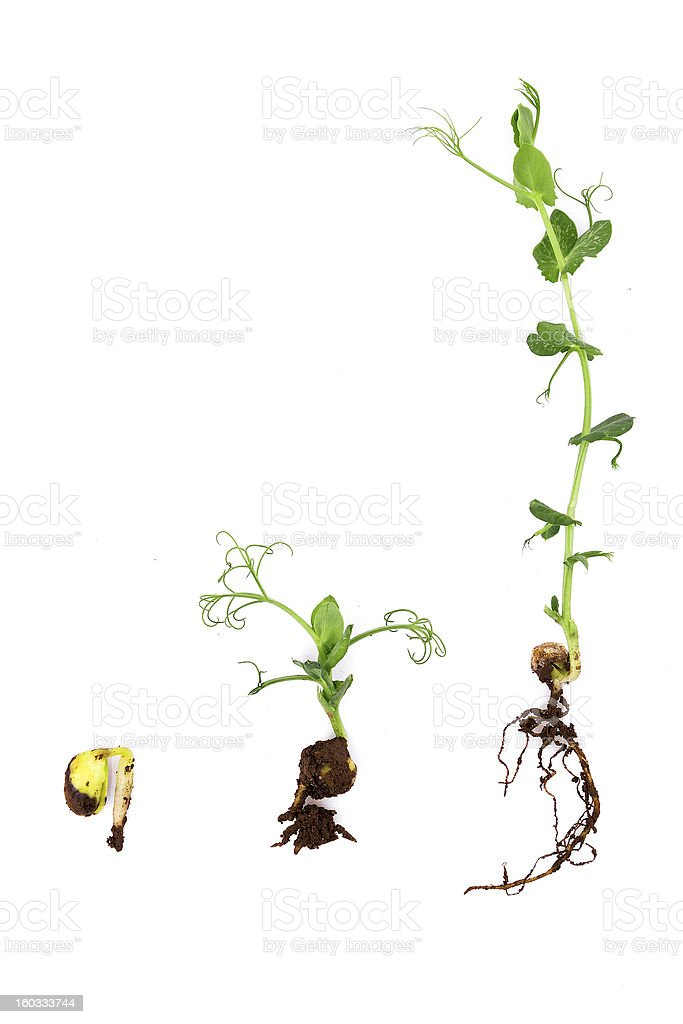 growing plant with root on white background:pea stock photo