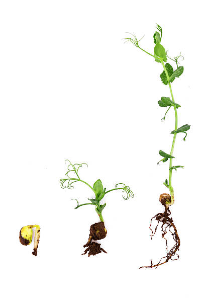 growing plant with root on white background:pea - pea sprouts bildbanksfoton och bilder