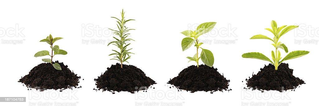 growing plants - rosemary, mint, stevia, basil royalty-free stock photo