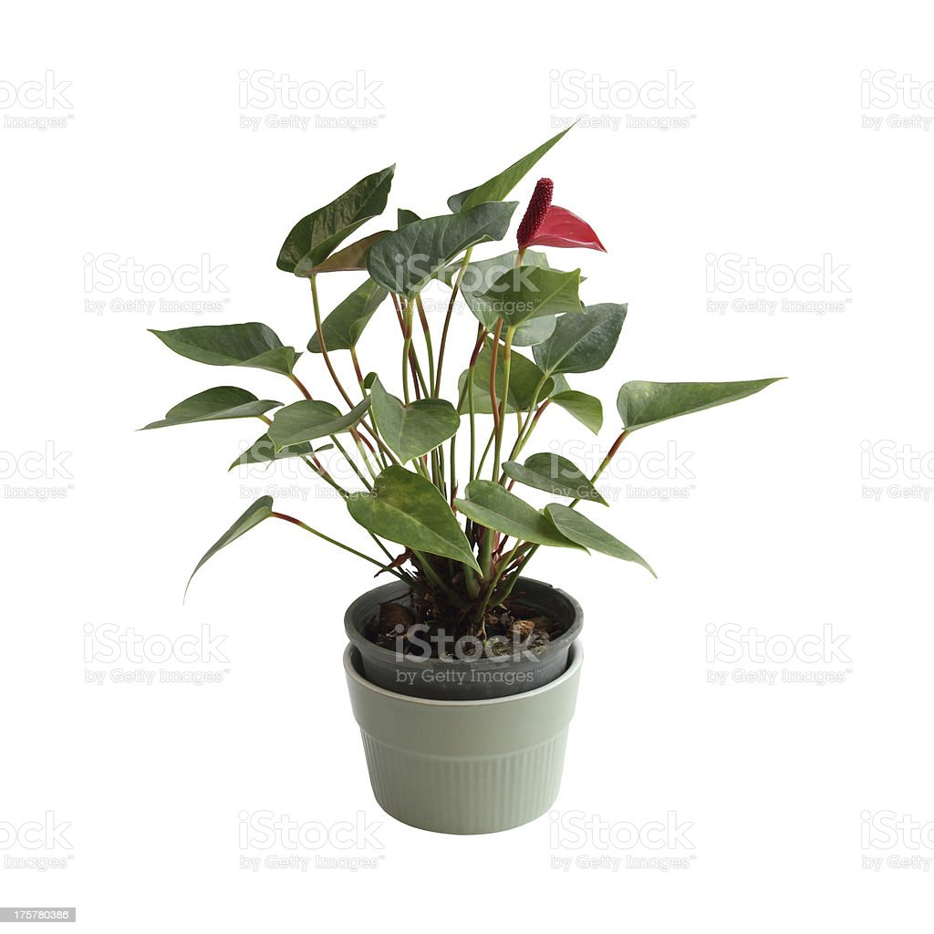 Growing popularity of small tree in Thailand stock photo