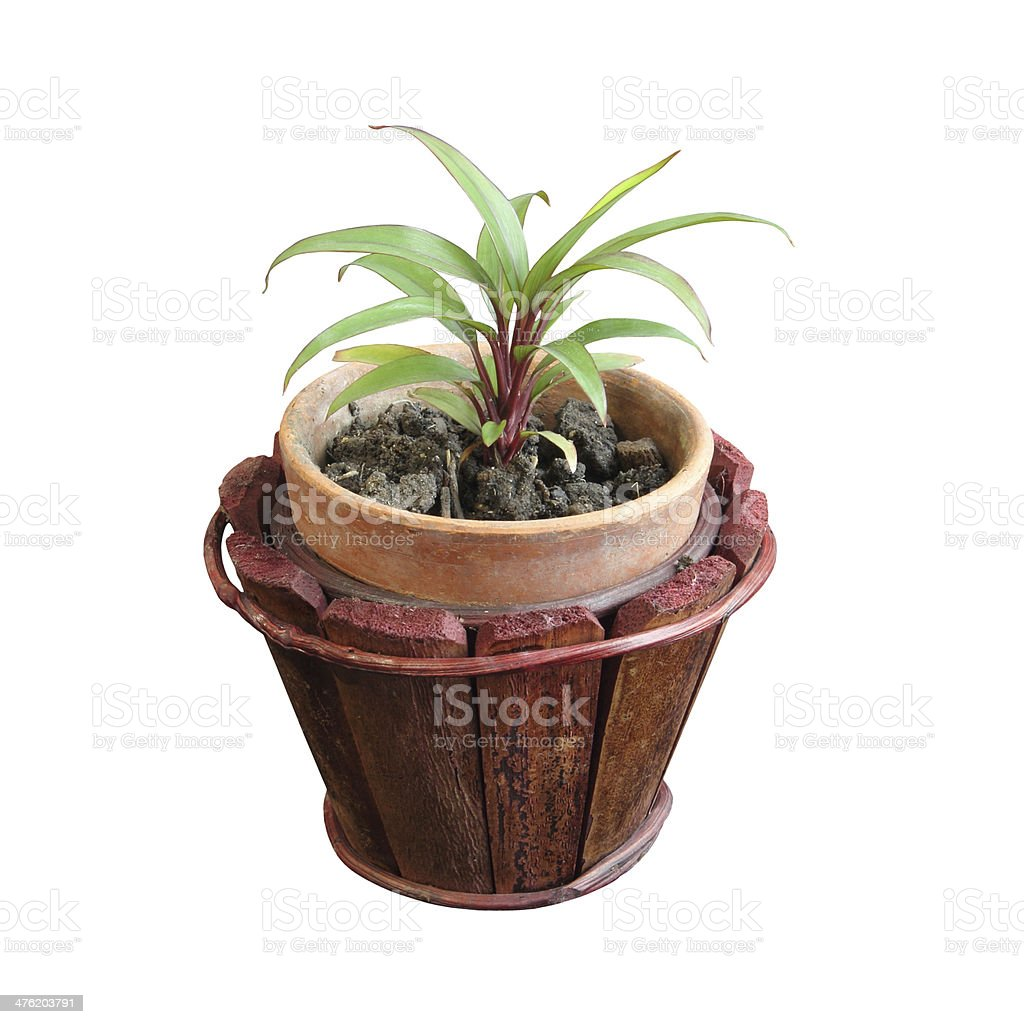 Growing popularity of small tree, Thailand stock photo