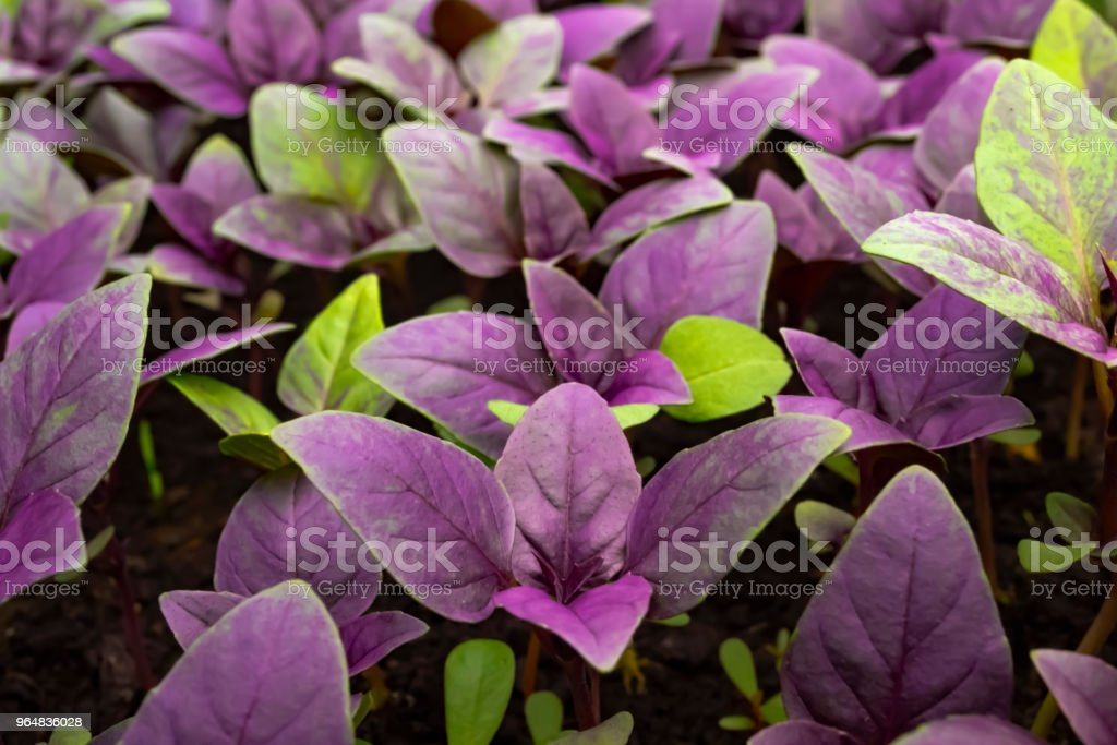 Growing purple basil on ground. Macro photo with blurred background royalty-free stock photo