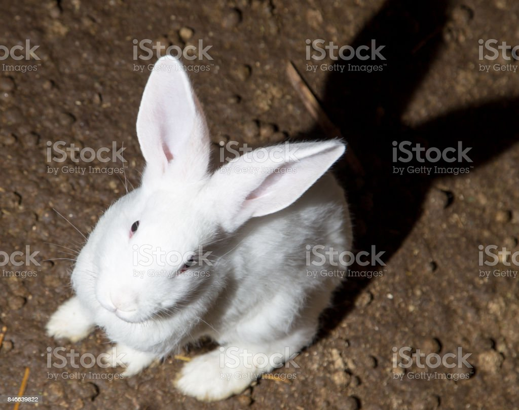 growing rabbits on the farm stock photo