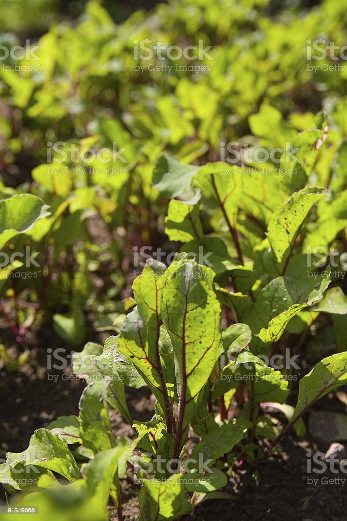 Growing red beet royalty-free stock photo