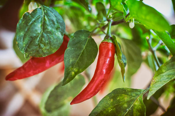 Growing Red Peppers At Home stock photo