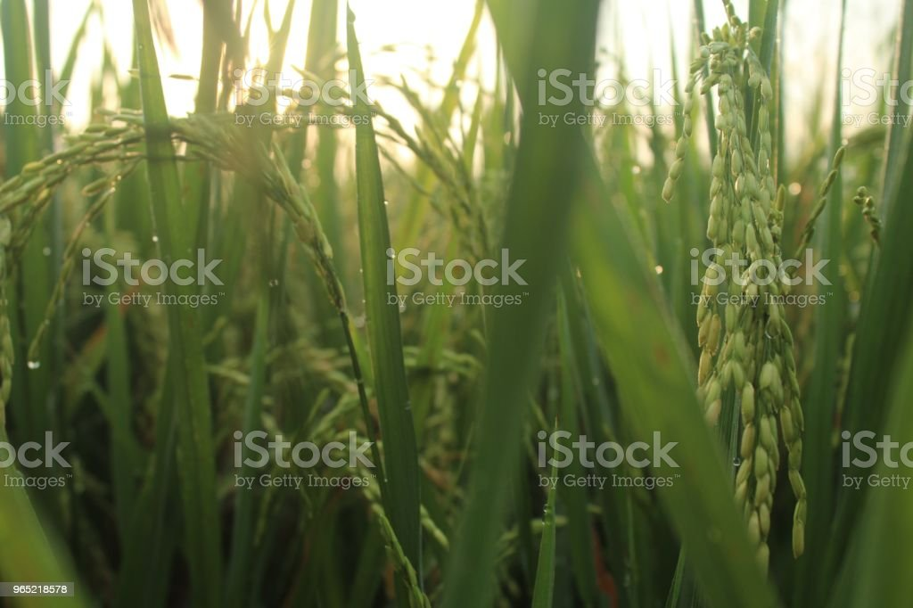 Growing Rice In The Morning royalty-free stock photo