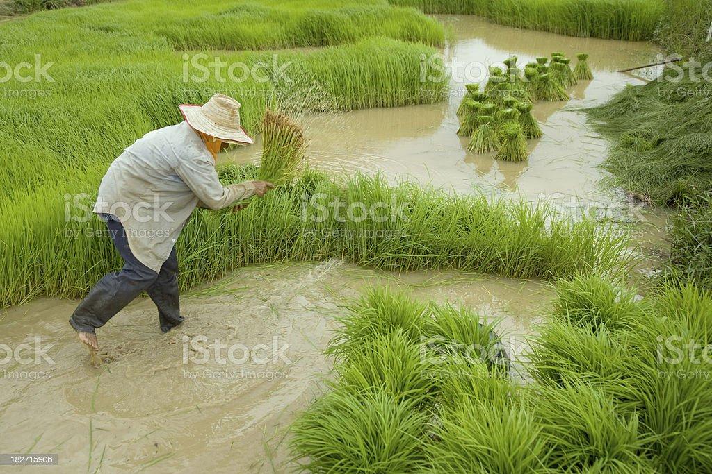 Growing Rice stock photo