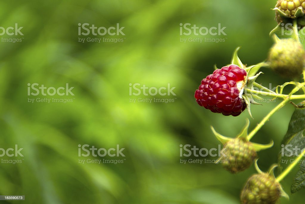 Growing ripe raspberries on a branch royalty-free stock photo