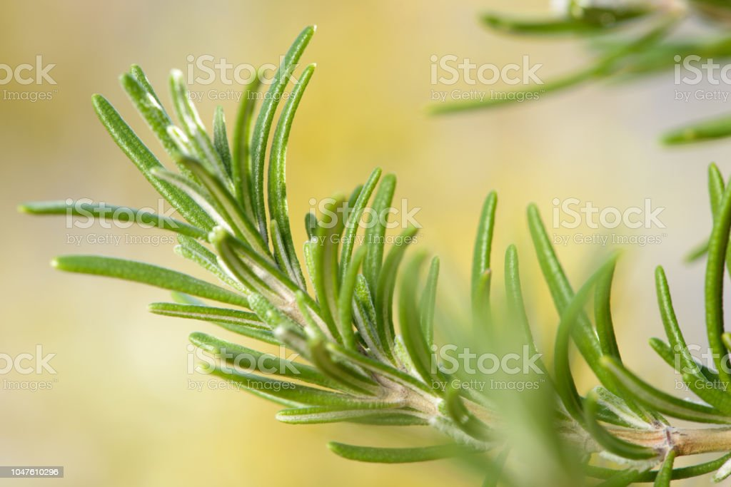 Growing Rosemary Plant stock photo