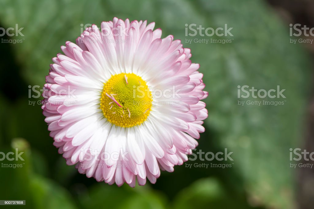 Growing Single White Daisy with Pink/Purple Tips stock photo