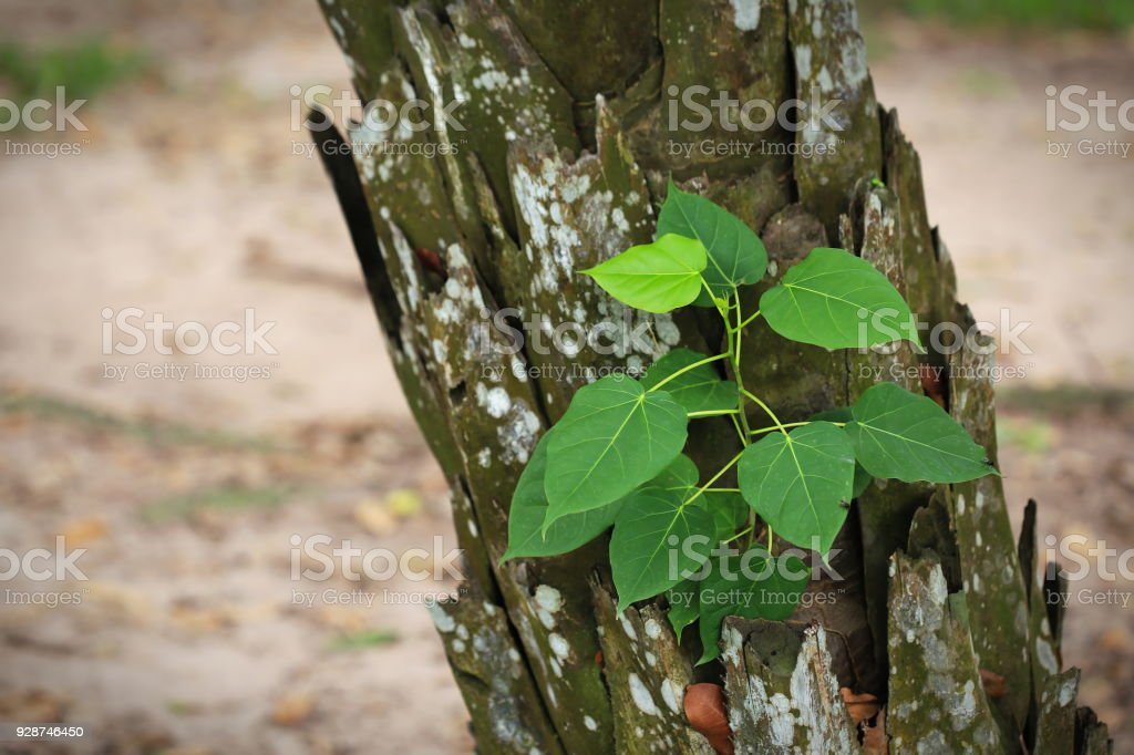 Pequeño árbol (especie Ficus rumphii) en el tronco de un árbol de crecimiento - foto de stock