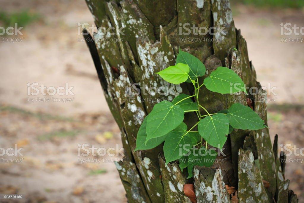 Growing small tree (Species Ficus rumphii) on tree trunk stock photo