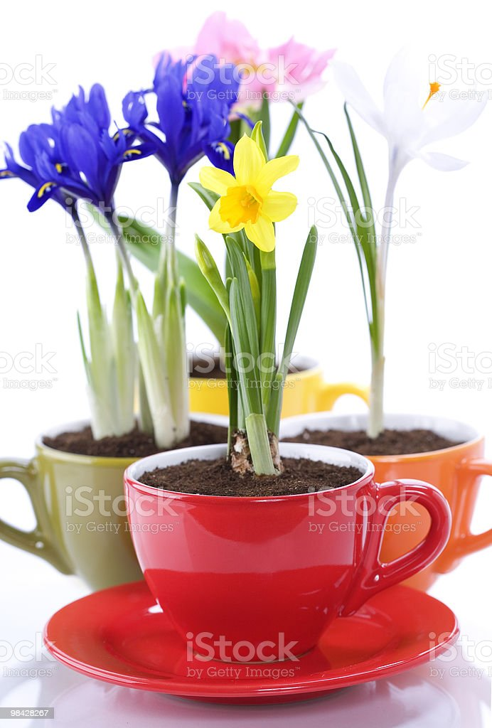 growing spring flowers in a cup royalty-free stock photo