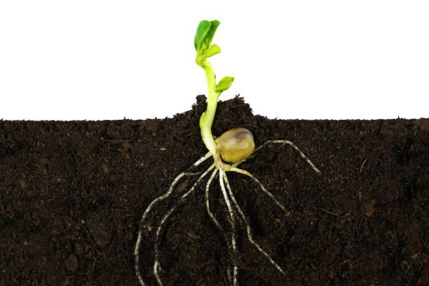 växande gro växt och rötter under jord. - pea sprouts bildbanksfoton och bilder
