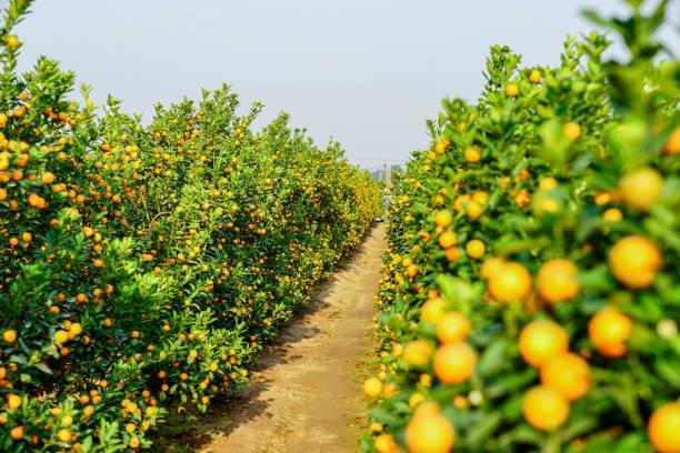 wachsende mandarinen - wäldchen stock-fotos und bilder