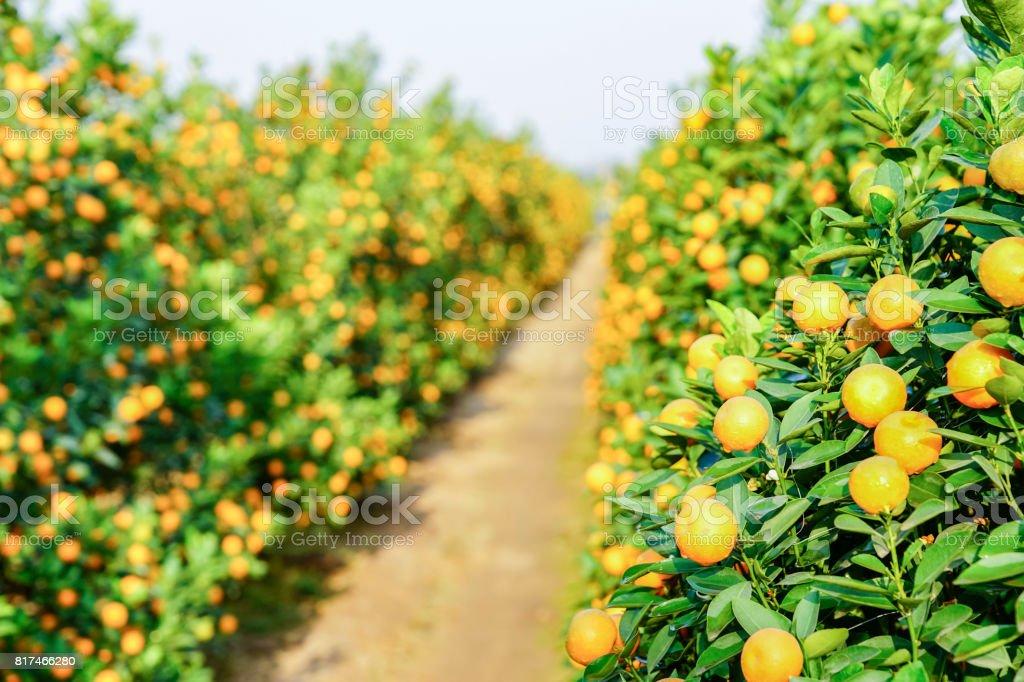 Cultivo de mandarinas - foto de stock