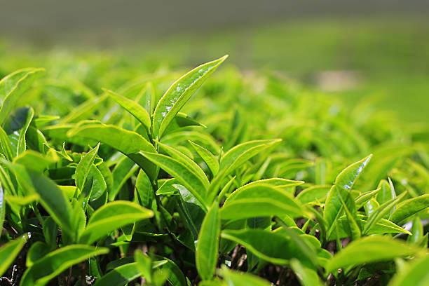 Growing tea leafs in tea farm stock photo