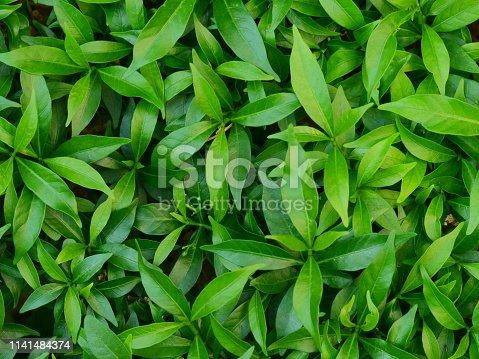 Tea Crop, Asia, Cameron Highlands, Malaysia, Plant
