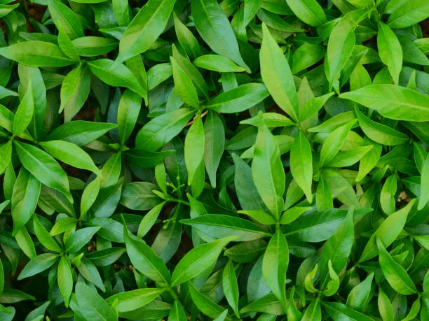 Growing Tea Leaves Tea Crop, Asia, Cameron Highlands, Malaysia, Plant tea crop stock pictures, royalty-free photos & images