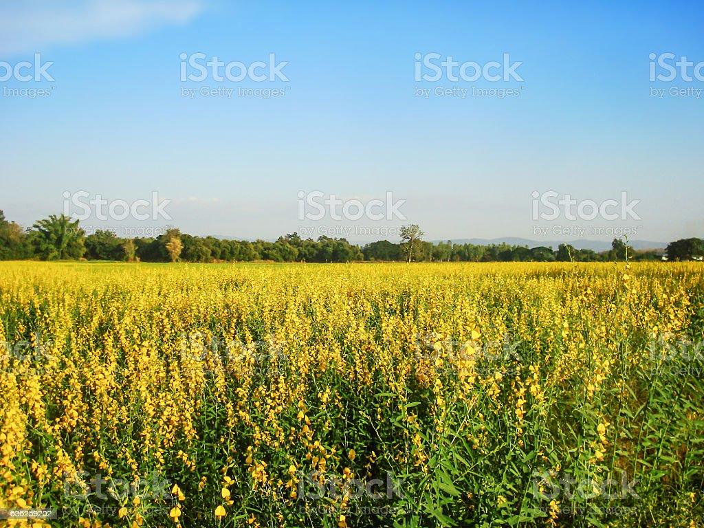 Growing the Sunn hemp in the field stock photo