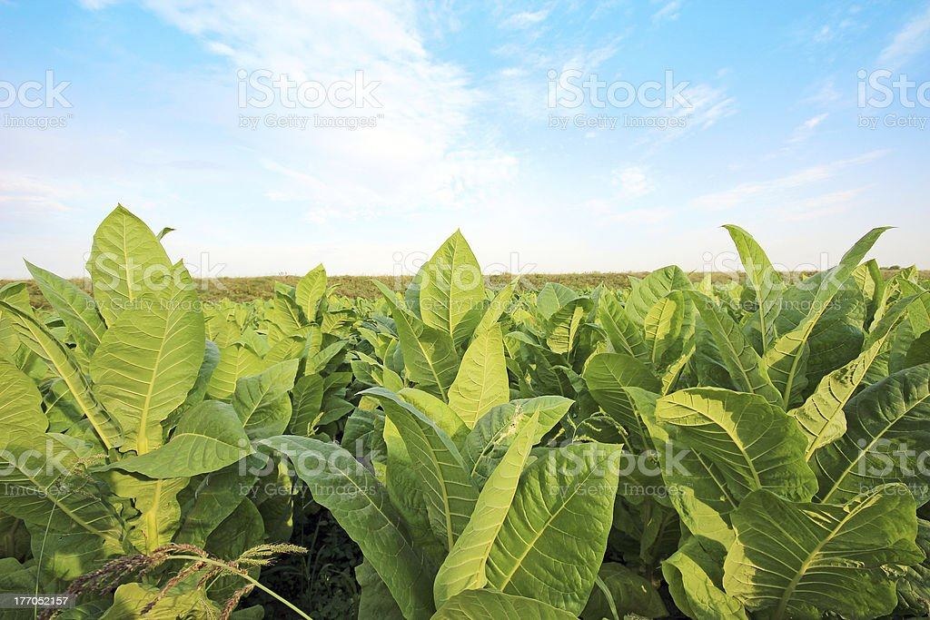 growing tobacco on a field in Poland royalty-free stock photo