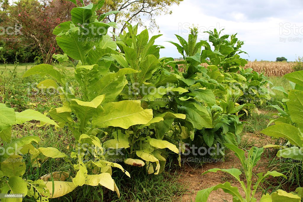 Growing tobacco plants stock photo