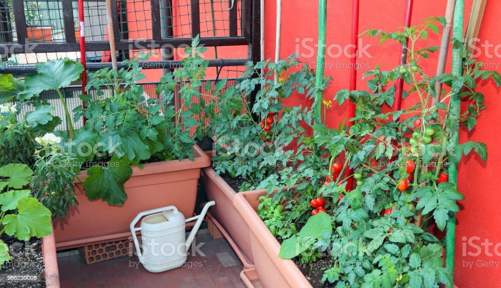 Cultivo De Tomates Y El Calabacín En Macetas En La Terraza