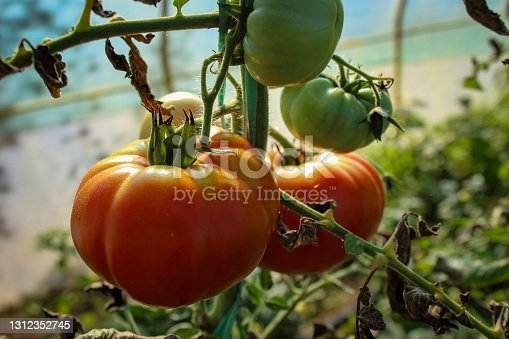 Growing tomatoes in a greenhouse. Green and red tomatoes. Ripe and unripe tomatoes.
