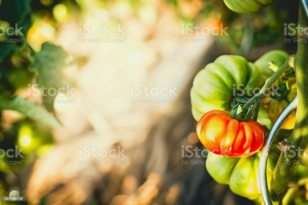 Growing Tomatoes in garden, outdoor Lizenzfreies stock-foto